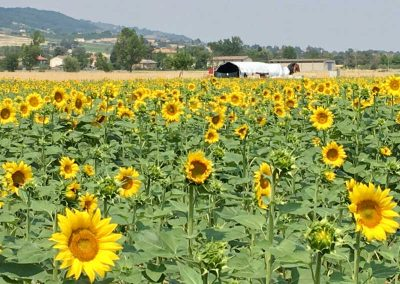 Sunflowers800