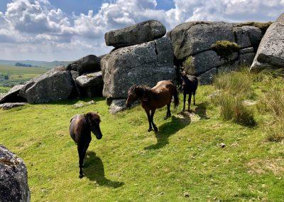 Down Tor ponies