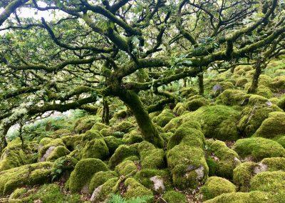 Bonzai Oak Forest